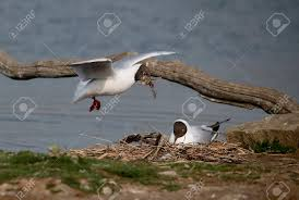 Gaviotas reidoras en vuelo